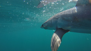 A mako with a longline circle hook in him.