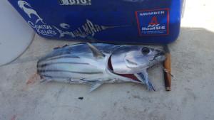 Was a bad day to be a skipjack tuna...