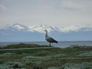 A Chilean goose