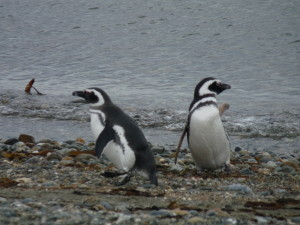 Penguins coming in from the water