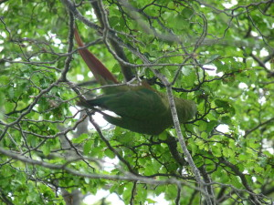 A green parrot hanging out in a tree, Did not expect this here!