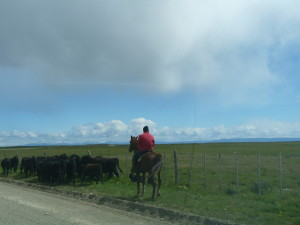 A huason (Chilean cowboy) rounds up his herd